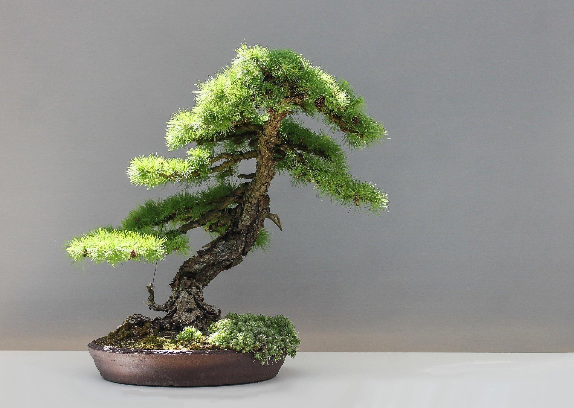bonsai-1805499_1920.jpg